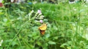 Μικροσκοπική κίτρινη πεταλούδα Στοκ φωτογραφία με δικαίωμα ελεύθερης χρήσης
