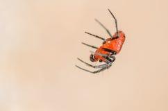 Μικροσκοπική κόκκινη και μαύρη αράχνη Στοκ φωτογραφίες με δικαίωμα ελεύθερης χρήσης