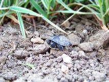 Μικροσκοπική λίγη χελώνα μωρών έσωσε και απελευθέρωσε στις άγρια περιοχές, που τοποθετήθηκαν στο έδαφος και το φυσικό περιβάλλον  Στοκ εικόνες με δικαίωμα ελεύθερης χρήσης