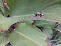 μικροσκοπική μέλισσα Στοκ φωτογραφία με δικαίωμα ελεύθερης χρήσης