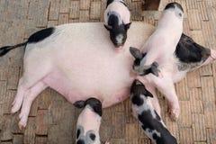 Μικροσκοπική οικογένεια χοίρων σε ένα αγρόκτημα αγροκτημάτων Στοκ Φωτογραφίες