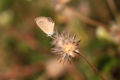 Μικροσκοπική πεταλούδα και ξηρό λουλούδι χλόης Στοκ Εικόνες