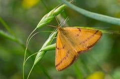 Μικροσκοπική πορτοκαλιά πεταλούδα Στοκ εικόνα με δικαίωμα ελεύθερης χρήσης