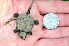 Μικροσκοπική σπάζοντας απότομα χελώνα Στοκ Φωτογραφίες