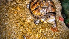 Μικροσκοπική χελώνα Στοκ φωτογραφία με δικαίωμα ελεύθερης χρήσης