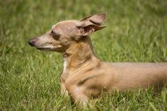 Μικροσκοπική Greyhound διάσωση στη χλόη Στοκ φωτογραφίες με δικαίωμα ελεύθερης χρήσης