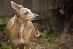Μικροσκοπική Greyhound διάσωση Στοκ εικόνες με δικαίωμα ελεύθερης χρήσης