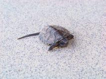 Μικροσκοπικός λίγη χελώνα μωρών που απομονώνεται σε ένα γκρίζο κεραμίδι Στοκ εικόνα με δικαίωμα ελεύθερης χρήσης