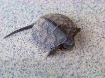 Μικροσκοπικός λίγη χελώνα μωρών που απομονώνεται σε ένα γκρίζο κεραμίδι Στοκ Φωτογραφία