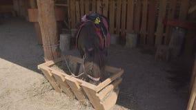 Μικροσκοπικό άλογο πόνι που τρώει το σανό απόθεμα βίντεο