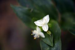 Μικροσκοπικό άσπρο λουλούδι στο σκοτεινό δάσος Στοκ φωτογραφία με δικαίωμα ελεύθερης χρήσης