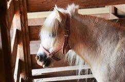 Μικροσκοπικό άλογο Στοκ Φωτογραφία