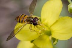 Μικροσκοπικό έντομο balteatus episyrphus σε ένα primrose λουλούδι Στοκ φωτογραφία με δικαίωμα ελεύθερης χρήσης