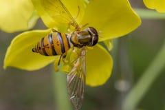 Μικροσκοπικό έντομο balteatus episyrphus σε ένα primrose λουλούδι Στοκ φωτογραφίες με δικαίωμα ελεύθερης χρήσης