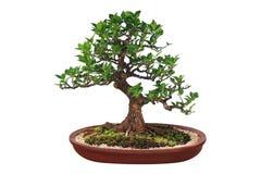 Μικροσκοπικό δέντρο, μπονσάι, που απομονώνεται στο άσπρο υπόβαθρο Στοκ Εικόνες