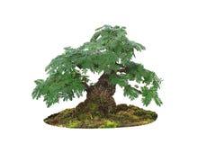 Μικροσκοπικό δέντρο, μπονσάι, που απομονώνεται στο άσπρο υπόβαθρο Στοκ εικόνες με δικαίωμα ελεύθερης χρήσης