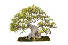 Μικροσκοπικό δέντρο, μπονσάι, που απομονώνεται στο άσπρο υπόβαθρο Στοκ φωτογραφίες με δικαίωμα ελεύθερης χρήσης