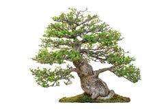 Μικροσκοπικό δέντρο, μπονσάι, που απομονώνεται στο άσπρο υπόβαθρο Στοκ Εικόνα