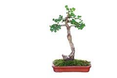 Μικροσκοπικό δέντρο, μπονσάι, που απομονώνεται στο άσπρο υπόβαθρο Στοκ εικόνα με δικαίωμα ελεύθερης χρήσης