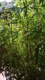 Μικροσκοπικό μπαμπού Στοκ εικόνες με δικαίωμα ελεύθερης χρήσης