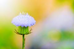 Μικροσκοπικό μπλε λουλούδι κινηματογραφήσεων σε πρώτο πλάνο Στοκ φωτογραφίες με δικαίωμα ελεύθερης χρήσης