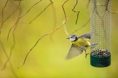 Μικροσκοπικό μπλε tit που πετά μακρυά από έναν τροφοδότη σε έναν κήπο Στοκ Εικόνα