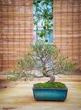 Μικροσκοπικό πράσινο δέντρο μπονσάι στο iterior Μπονσάι ιουνιπέρων Στοκ Εικόνες