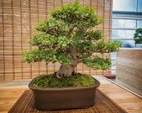 Μικροσκοπικό πράσινο δέντρο μπονσάι στο iterior rhododendron μπονσάι Στοκ Εικόνα
