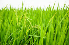 Μικροσκοπικό ρύζι ακίδων στον πολύβλαστο τομέα Στοκ εικόνα με δικαίωμα ελεύθερης χρήσης
