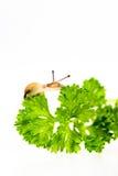 Μικροσκοπικό σαλιγκάρι στο μαϊντανό Στοκ εικόνα με δικαίωμα ελεύθερης χρήσης
