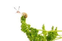 Μικροσκοπικό σαλιγκάρι στο μαϊντανό Στοκ Φωτογραφία