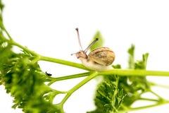 Μικροσκοπικό σαλιγκάρι στο μαϊντανό Στοκ Εικόνες