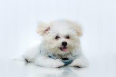 Μικροσκοπικό σκυλί φυλής κουταβιών shih-Tzu Στοκ φωτογραφία με δικαίωμα ελεύθερης χρήσης