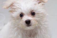 Μικροσκοπικό σκυλί φυλής κουταβιών tzu Shih Στοκ φωτογραφία με δικαίωμα ελεύθερης χρήσης