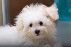 Μικροσκοπικό σκυλί φυλής κουταβιών tzu Shih Στοκ εικόνα με δικαίωμα ελεύθερης χρήσης