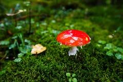 Μικροσκοπικό Amanita Muscaria Στοκ φωτογραφίες με δικαίωμα ελεύθερης χρήσης