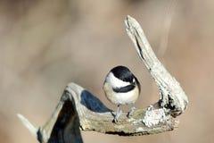 Μικροσκοπικό Chickadee Στοκ Εικόνες