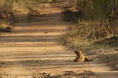 Μικροσκοπικό cub λιονταριών στοκ φωτογραφία με δικαίωμα ελεύθερης χρήσης