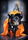 Μικροσκοπικό dachshund Στοκ φωτογραφίες με δικαίωμα ελεύθερης χρήσης