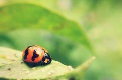 μικροσκοπικό ladybug στοκ εικόνα