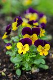 Μικροσκοπικό Pansies στον εγχώριο κήπο Στοκ Φωτογραφία