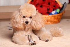 Μικροσκοπικό Poodle που βρίσκεται κοντά στο ξηρό κόκκαλο Στοκ Φωτογραφία