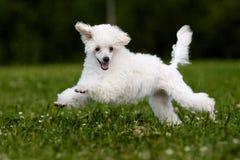 μικροσκοπικό poodle Στοκ Εικόνες