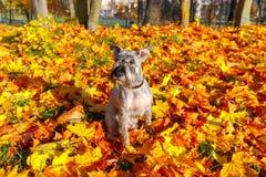 Μικροσκοπικό Schnauzer στο πάρκο φθινοπώρου Στοκ Φωτογραφία