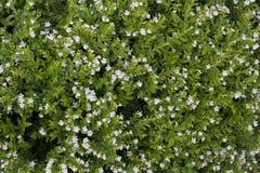 Μικρός άσπρος τομέας λουλουδιών Στοκ εικόνες με δικαίωμα ελεύθερης χρήσης