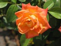 Μικρός ένας ανοικτό πορτοκαλί αυξήθηκε Στοκ Εικόνες