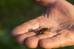 Μικρός βάτραχος Στοκ φωτογραφία με δικαίωμα ελεύθερης χρήσης