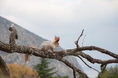 Μικρός γούνινος κόκκινος σκίουρος χωρίς ένα πόδι στον κλάδο στο υπόβαθρο των δέντρων στοκ εικόνες