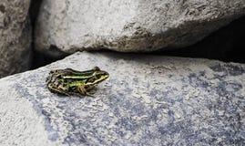 Μικρός ζωηρόχρωμος βάτραχος Στοκ εικόνες με δικαίωμα ελεύθερης χρήσης