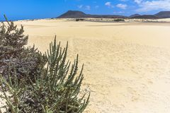 Μικρός θάμνος ευρύ Dunas de Corralejo, Fuerteventura Στοκ Εικόνες